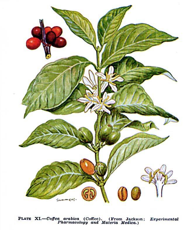 coffea-arabica-l-1 kawowiec